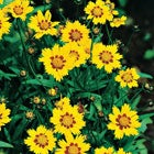 Coreopsis | Tickseed