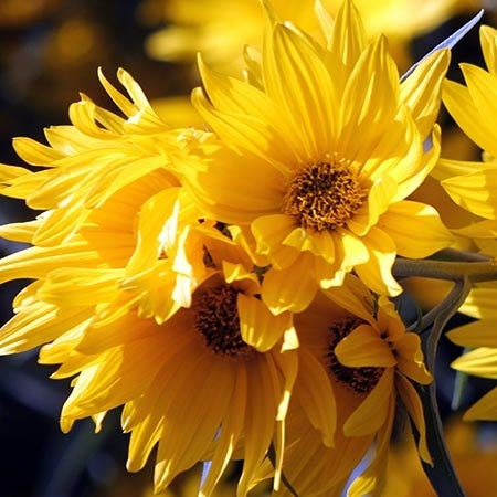 Helianthus plants for sale perennial sunflower high country gardens mightylinksfo Choice Image
