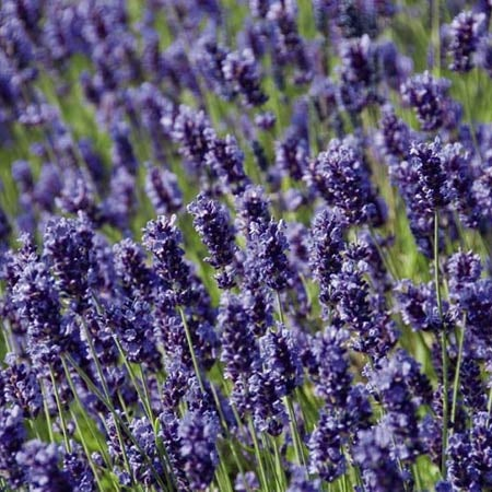 Lavender Plants For Sale Lavandula High Country Gardens