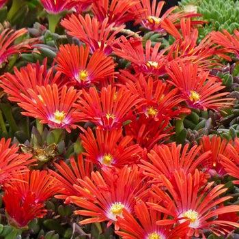 Full Sun Plants Full Sun Perennials High Country Gardens