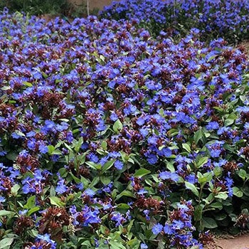 Groundcovers Alternative Lawns Ground Cover Plants High