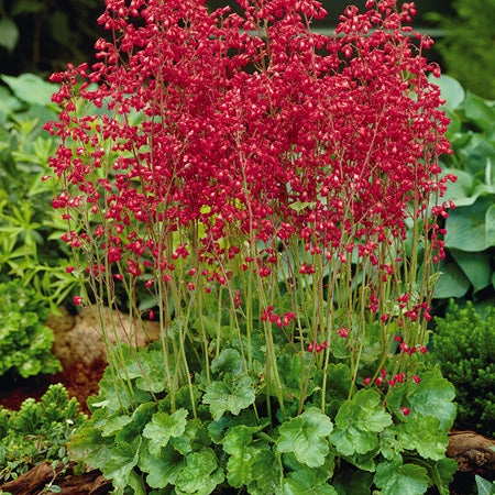 Perennial plants sustainable gardening high country gardens heuchera coral bells mightylinksfo