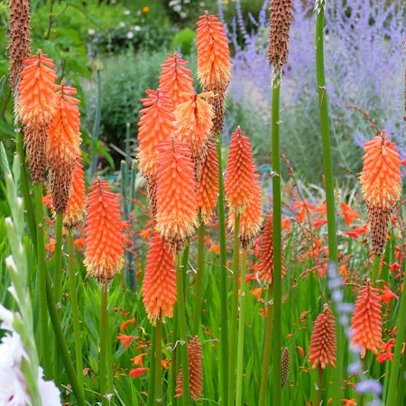 Perennial plants sustainable gardening high country gardens kniphofia red hot poker mightylinksfo Choice Image