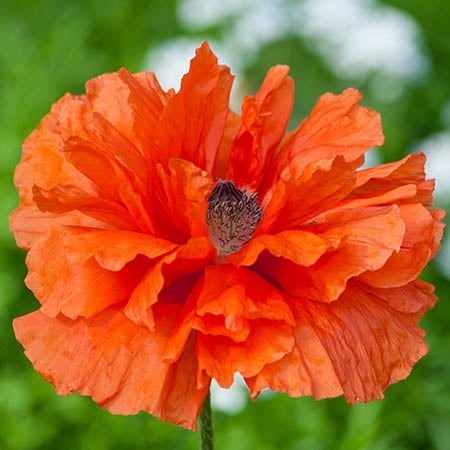 Oriental poppy plants for sale papaver high country gardens mightylinksfo Choice Image