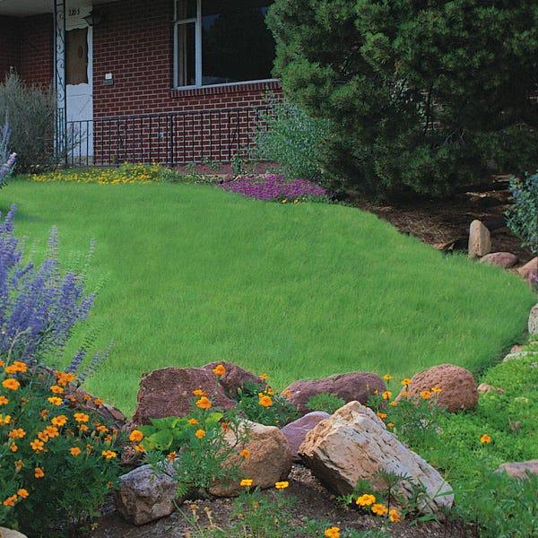 Legacy Buffalo Grass Plugs Buchloe Dactyloides High Country Gardens