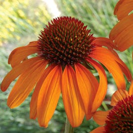 Echinacea Tiki Torch Hybrid Orange Coneflower High