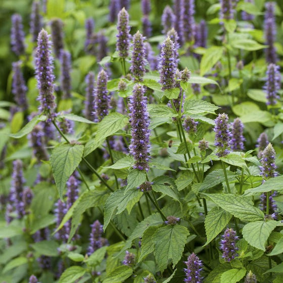 Excitement About How To Grow Hyssop - Herb Gardening Guide