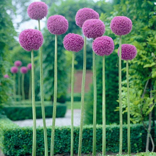 Giant Allium Bulbs Allium Giganteum Bulbs Persian Onion High