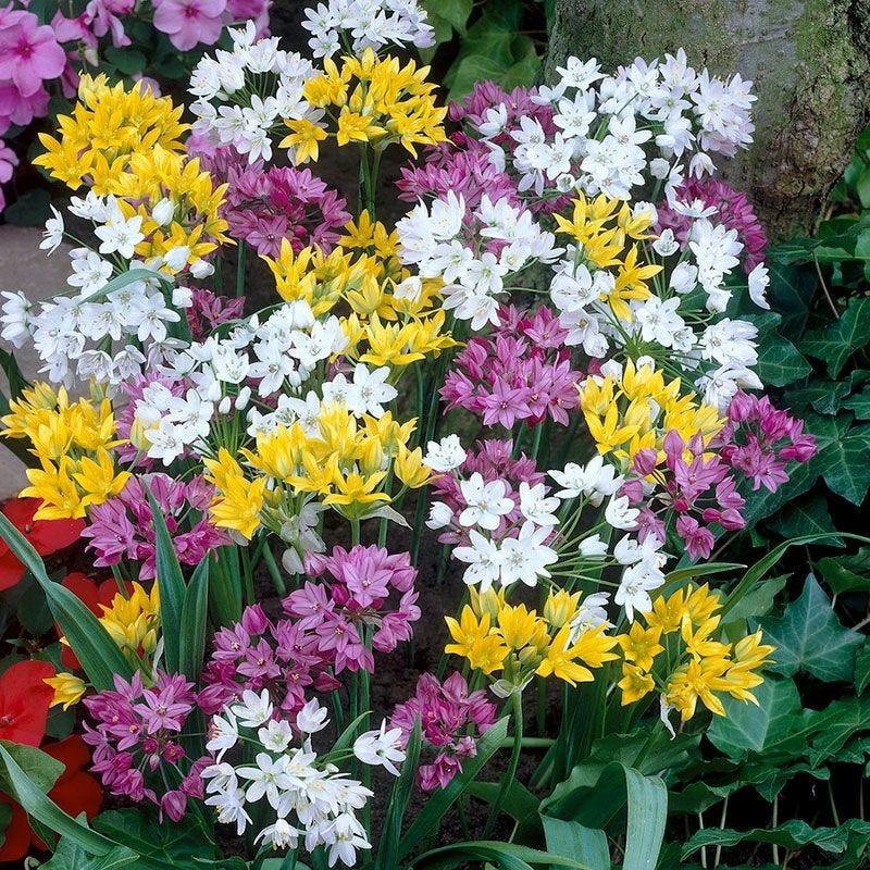 Rainbow Mix Fireworks Allium Bulbs Ornamental Onion Rainbow Mix