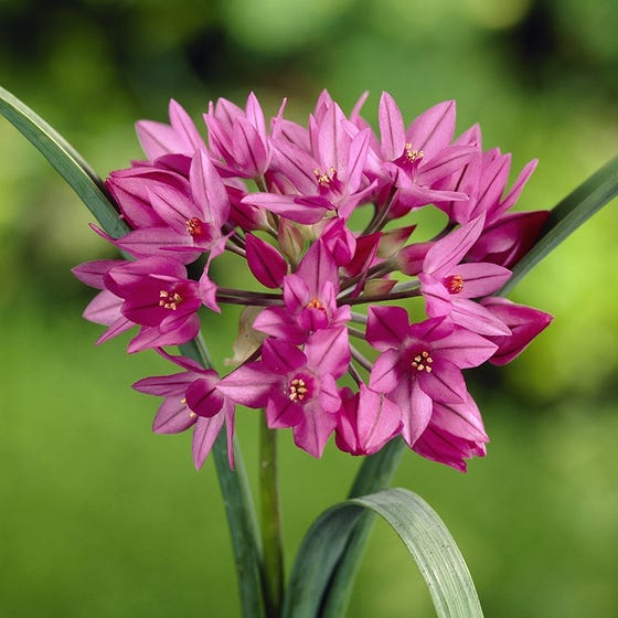 Endless Allium Bulb Collection High Country Gardens