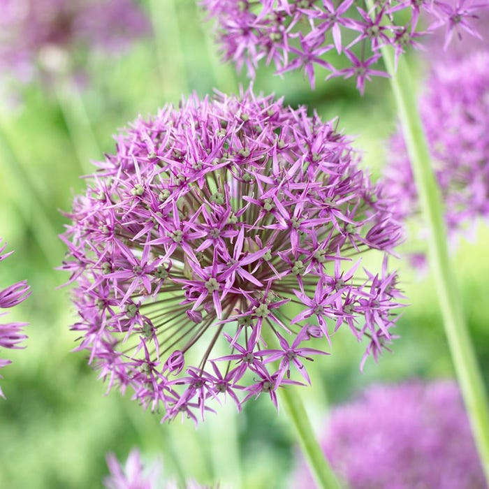 Violet Beauty Allium Bulbs Ornamental Onion Violet Beauty High