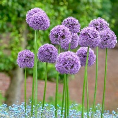 Gladiator Allium Bulbs Gladiator Ornamental Onion High Country