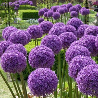 Globemaster Allium Bulbs Globemaster Ornamental Onion High