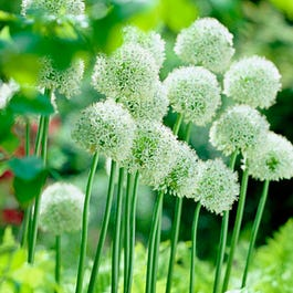 Mount Everest Allium Bulbs White Allium High Country