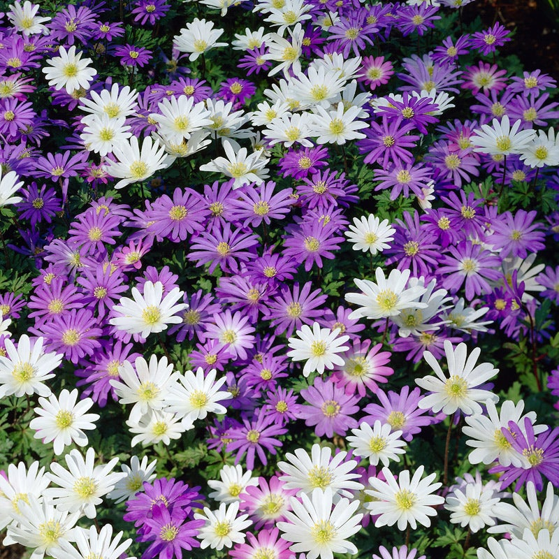 25 ANEMONE PULSATILLA VIOLET PERENNIAL DEER RABBIT RESIST FLOWER SEEDS PASQUE