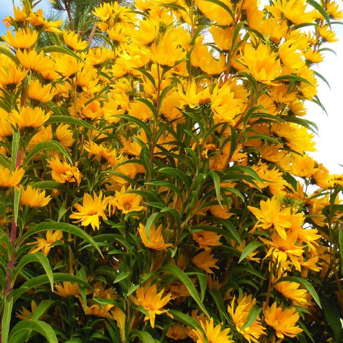 Helianthus maximiliana Santa Fe