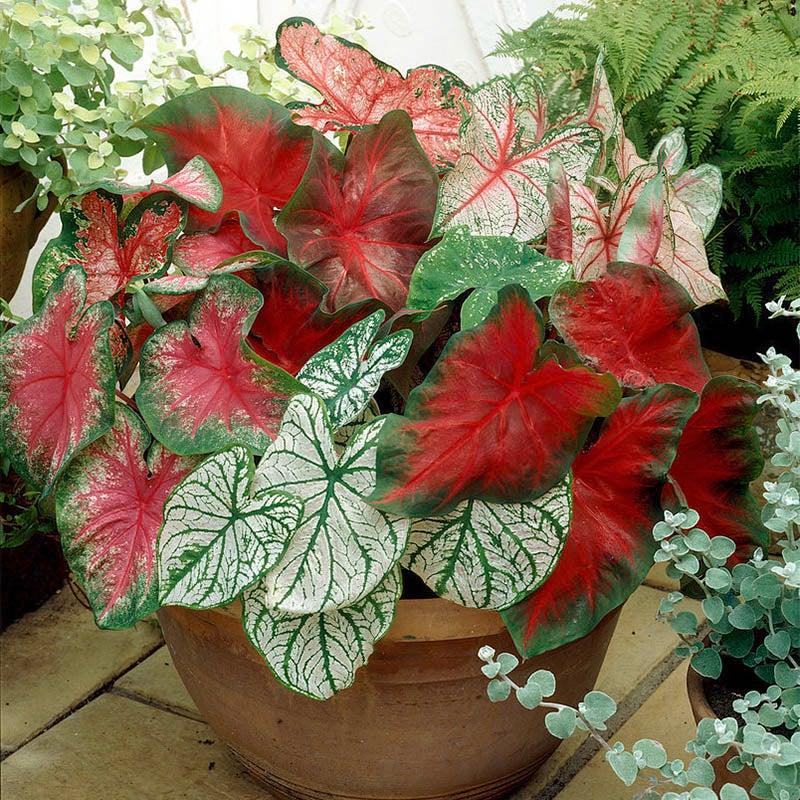 Caladium Elephant Ear Bulbs Perennial Resistant Stunning Rare Tropical Pot Plant