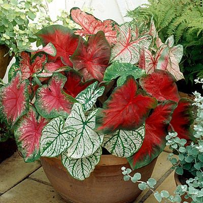 Caladium Bulb Mix Elephant Ears Bulbs Fancy Leaf Caladium
