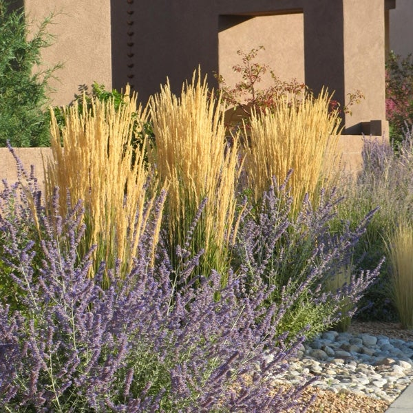 Calamagrostis × acutiflora Karl Foerster Feather reed-grass Young Plant 9cm Pot
