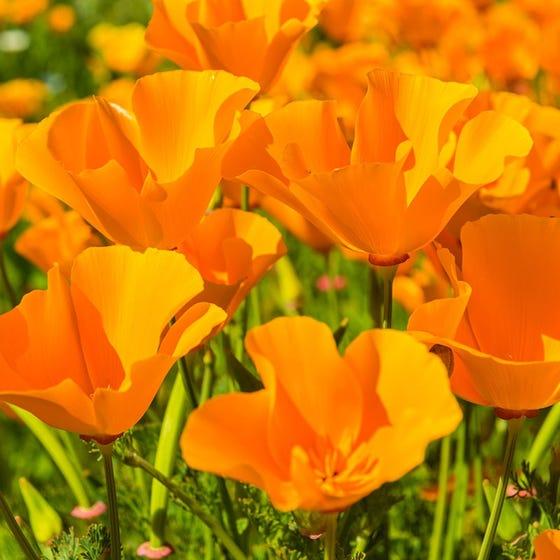 California Poppy Seeds Eschscholzia Californica High Country
