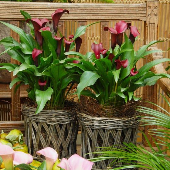 Allure Calla Lily Bulbs Zantedeschia High Country Gardens
