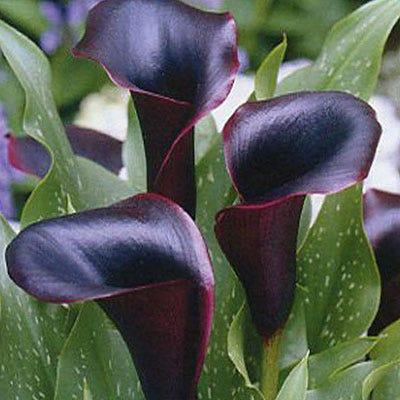 Black Forest Calla Lily Bulbs Zantedeschia High Country Gardens