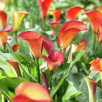 Flame Calla Lily Bulb Zantedeschia Flame High Country Gardens