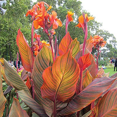 Tropicanna Large Flowering Canna Lily Orange Indica