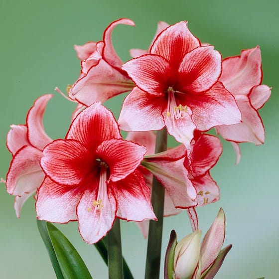Charisma Amaryllis Bulb | Hippeastrum | High Country Gardens