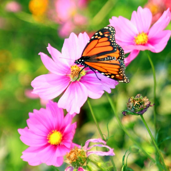 Butterfly And Hummingbird Wildflower Seed Mix High Country Gardens