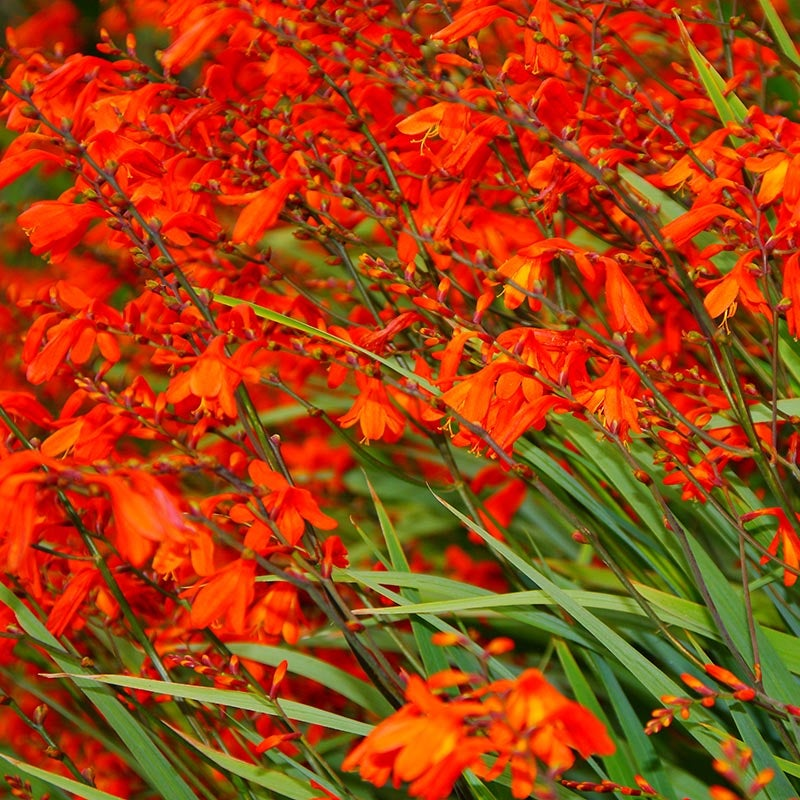 12 x Montbretia Crocosmia Plants Bright Orange ready to plant.