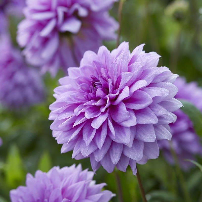 Blue Boy Dahlia Bulbs High Country Gardens