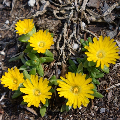ONE POTTED ICE PLANT DELOSPERMA CONGESTUM  GROUND COVER  HARDY YELLOW FLOWERS