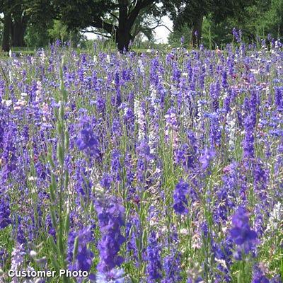 Delphinium Consolida Seeds Rocket Larkspur Seeds High Country Gardens