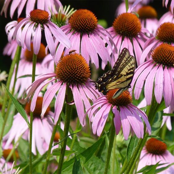 Purple Coneflower Seeds Echinacea Purpurea Seeds High Country