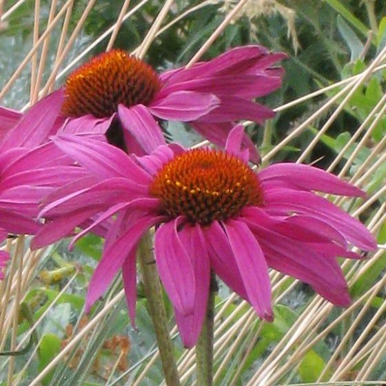 Echinacea Purpurea Rubinstern Ruby Star Purple Coneflower High