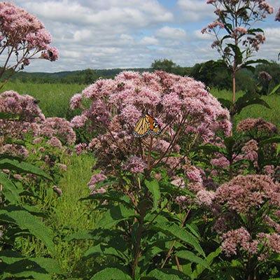 Joe Pye Weed Seeds Eupatorium Fistulosum Seeds High Country