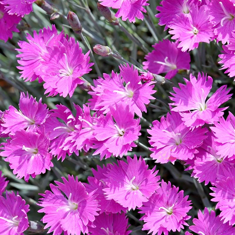 Firewitch Garden Pinks Dianthus Firewitch High Country Gardens