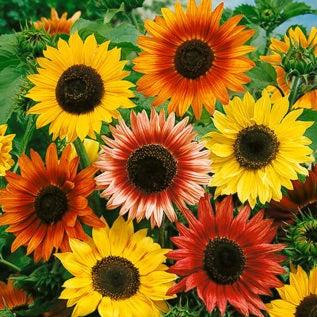 5+ seeds Autumn Beauty RARITY! Sunflower