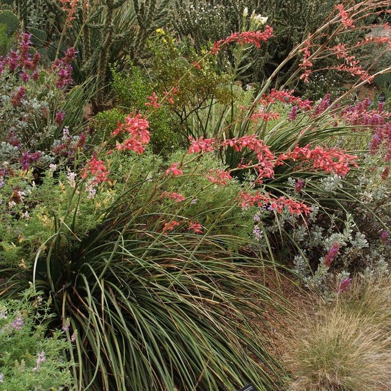 Texas Red Yucca 10 Seeds Hesperaloe parviflora