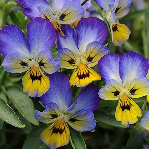 Jumping Jack Perennial Viola Viola Jumping Jack High Country