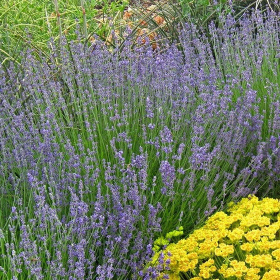 Old Fashioned English Lavender Lavandula Angustifolia Vera