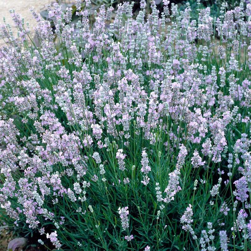 "Lavender French Provence 4/"" Size Pot"