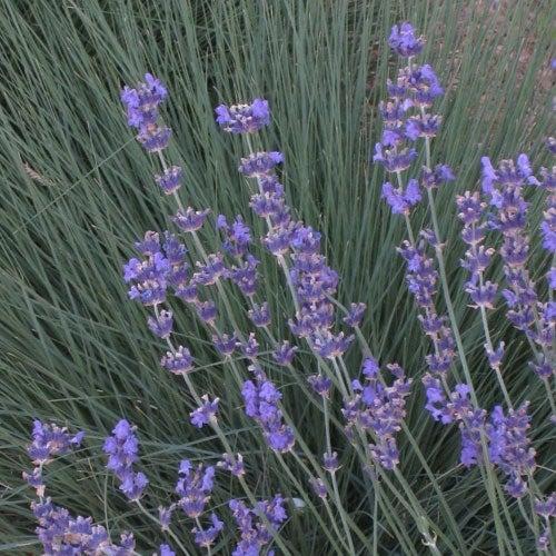 Lavender Lavendula Semi angustifolia vera fragnant perenne
