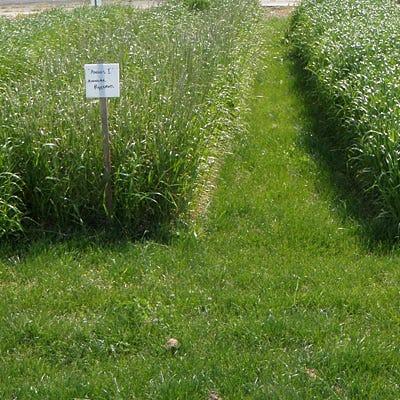 Annual Rye Grass Seeds