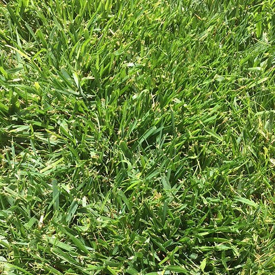 Low Work Water Dwarf Fescue Grass Seed Low Water Lawns High Country Gardens