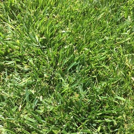 Low Work Amp Water Dwarf Fescue Grass Seed Low Water Lawns