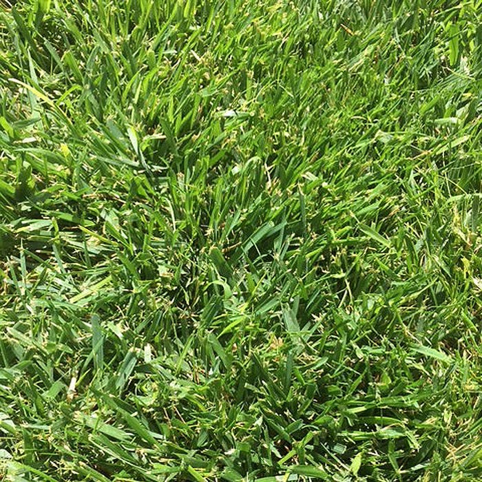 Low Work and Water Dwarf Fescue Grass Seed