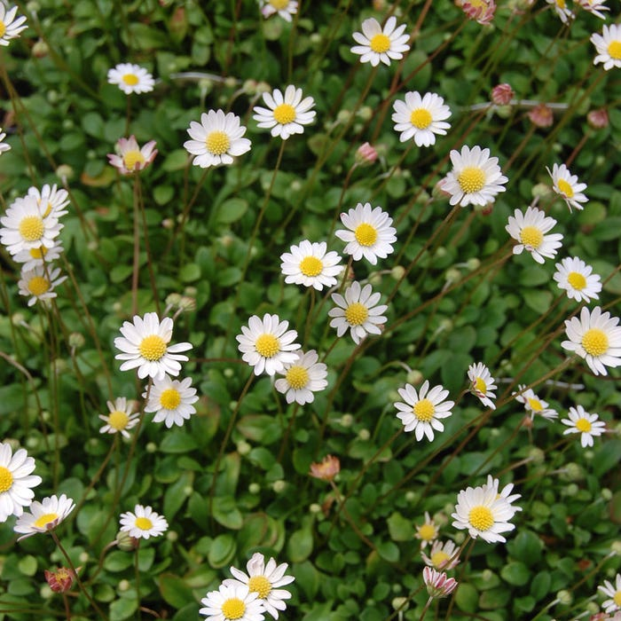 386f933783 Miniature Mat Daisy | Bellium minutum | High Country Gardens