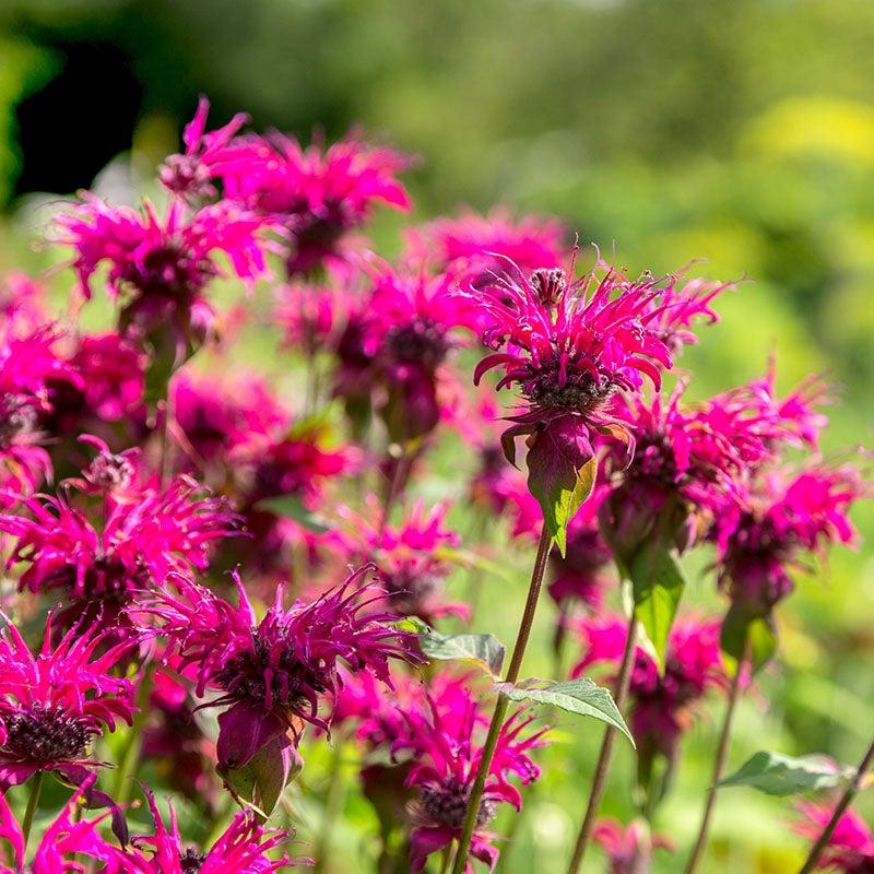 Deer Resistant 50 Scarlet Red Bee Balm Perennial Monarda Flower Seeds